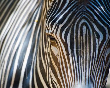 Zebra at the Los Angeles Zoo