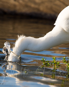 Dive Right In. Snowy Egret breakfast.  Tell me what you are eating for breakfast.