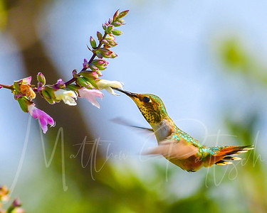 A female Allen's Hummingbird getting some in flight meals.