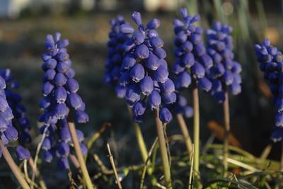 "Grape Hyacinth ""Muscari botryoides"" Elm Springs, Arkansas"
