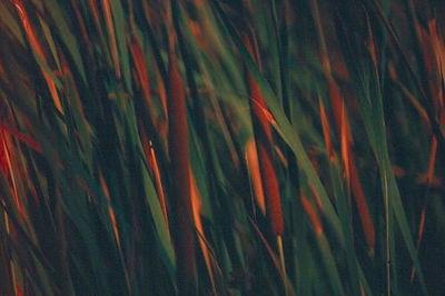 COMMON CATTAIL Typha latifolia Otay Valley, California