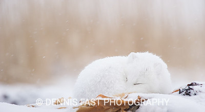 Arctic Fox (Vulpes lagopus) dozing in snowstorm at edge of Hudson Bay, Canada.