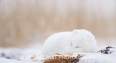 Arctic Fox (Vulpes lagopus) dozing in snowstorm at edge of Hudson Bay, Canada.