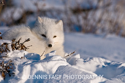 Arctic Fox (Vulpes lagopus) at Seal River Lodge, coastal Hudson Bay, Churchill, MB, Canada