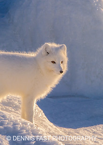 Arctic Fox (Vulpes lagopus) on Hudson Bay near Churchill, MB, Canada.