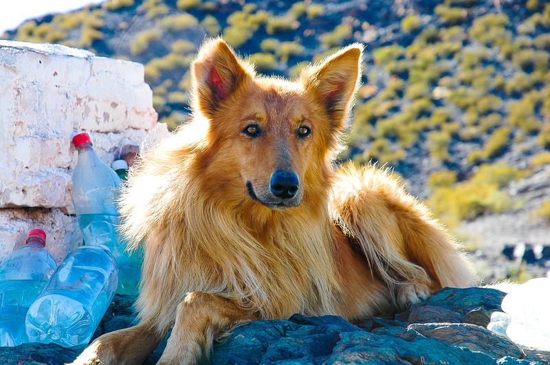 Canine Friend<br /> Uspallata, The Andes