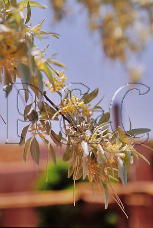 AZ CANYON DE CHELLY NATIONAL MONUMENT OLIVE TREE 11W
