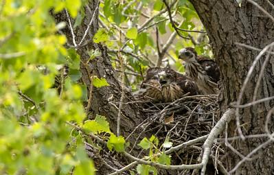 Cooper's Hawk nest? Box Canyon Santa Rita Mountains southeast Arizona trip July 2021 IMGC2995