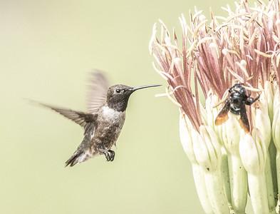 Black-chinned Hummingbird male Box Canyon Santa Rita Mountains southeast Arizona trip July 2021 IMGC2857