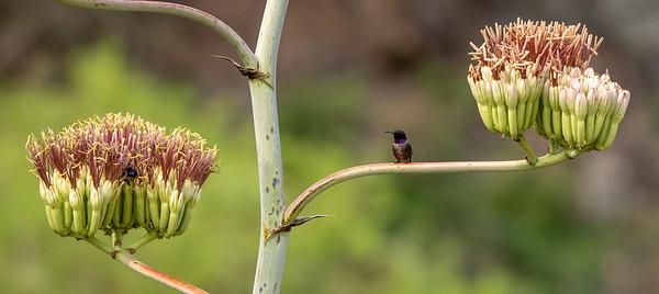 Black-chinned Hummingbird male Box Canyon Santa Rita Mountains southeast Arizona trip July 2021 IMGC2870
