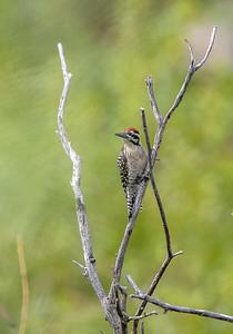 Ladder-backed Woodpecker Box Canyon Santa Rita Mountains southeast Arizona trip July 2021 IMGC2070