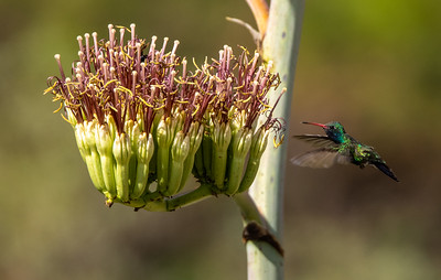 Broad-billed Hummingbird Box Canyon Santa Rita Mountains southeast Arizona trip July 2021 IMGC2051