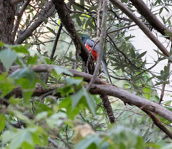 Elegant Trogon nest Cave Creek South Fork Canyon Chiricahua Mountains near Portal southeast Arizona June 6-12 2019-00200