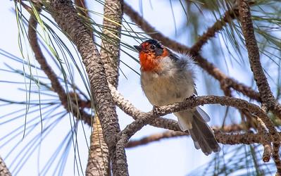 Red-faced Warbler Mount Lemmon Tucson AZ southeast Arizona trip July 2021 IMGC0007