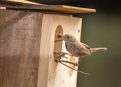 House Wren carrying food nest box Mount Lemmon Tucson AZ southeast Arizona trip July 2021 IMGC9999
