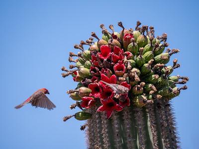 House Finch eating feeding on Saguaro cactus fruit Saguaro National Park West Unit southeast Arizona June 6-12 2019-1055083