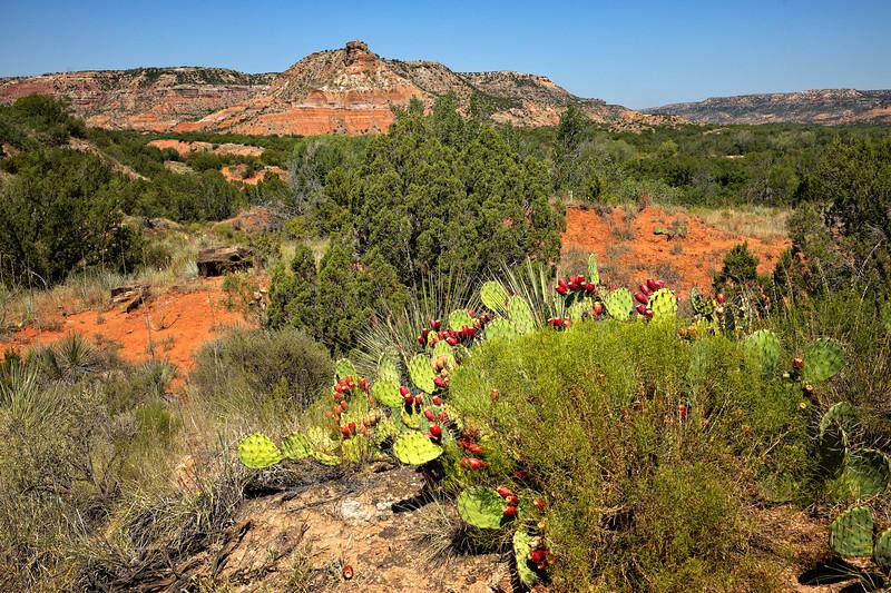 Prickly Pear Cacti