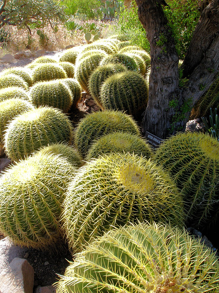 Barrel cactii at Boyce Thompson