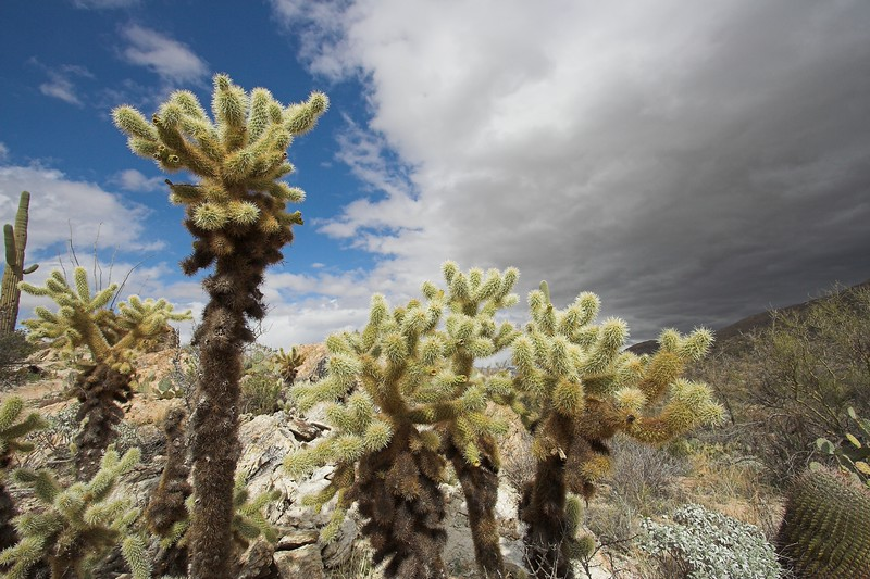 Cholla, Saguaro National Park East
