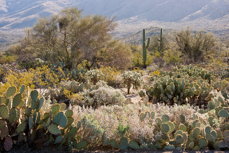 A cactus garden at Saguaro National Park East, Tucson