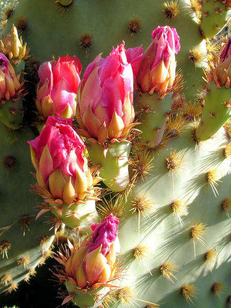 Prickly pear blossoms at Boyce Thompson Arboretum
