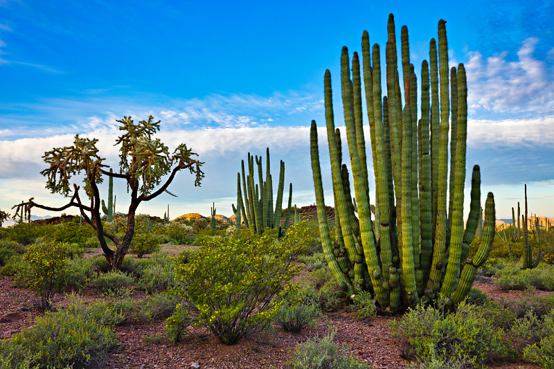 7078 Organ Pipe Cactus