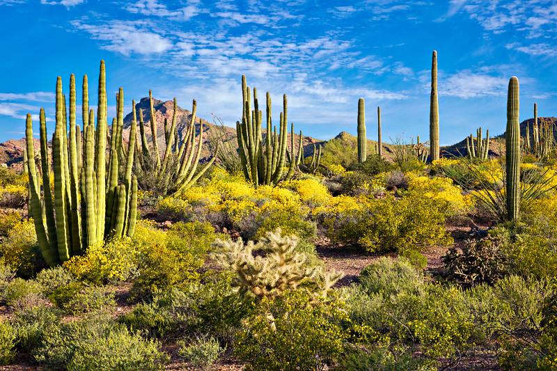 7569 Organ Pipe Cactus