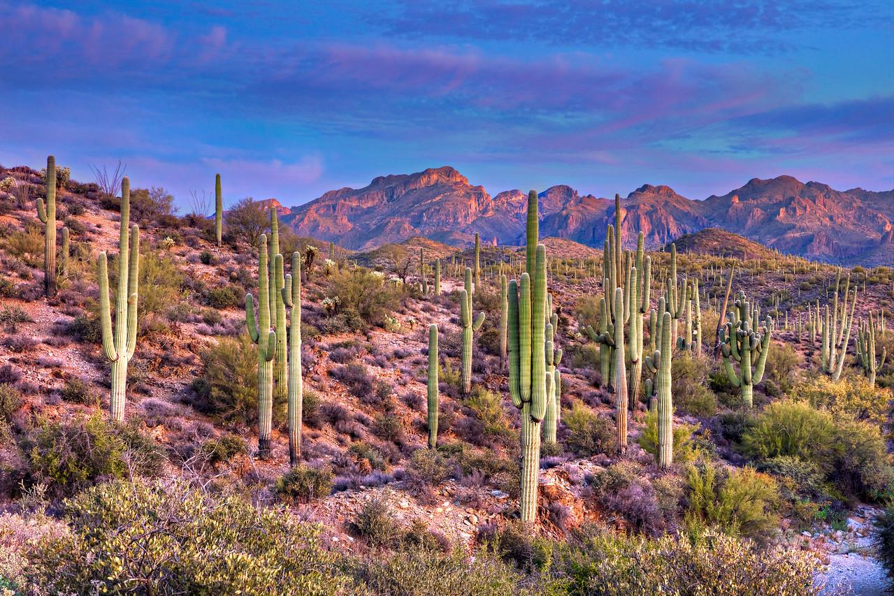 4894 Saguaros