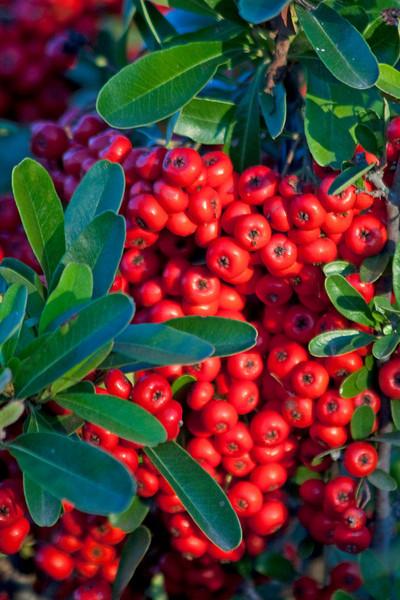 RedBerries9519(8x12)