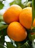 Tangerine0035(10 25x14)