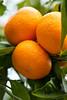 Tangerine0035(18x12))