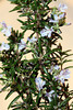 Rosemary is an aromatic and attractive plant for holiday arrangements.