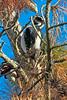 Hairy Woodpecker0149