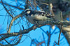 Downy Woodpecker in a dead pine tree at the end of Hacienda Dr., Tiburon, Calif. on December 28, 2013.