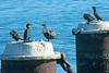 Cormorants0258