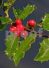 HollyBerriesDark2294(10x14)