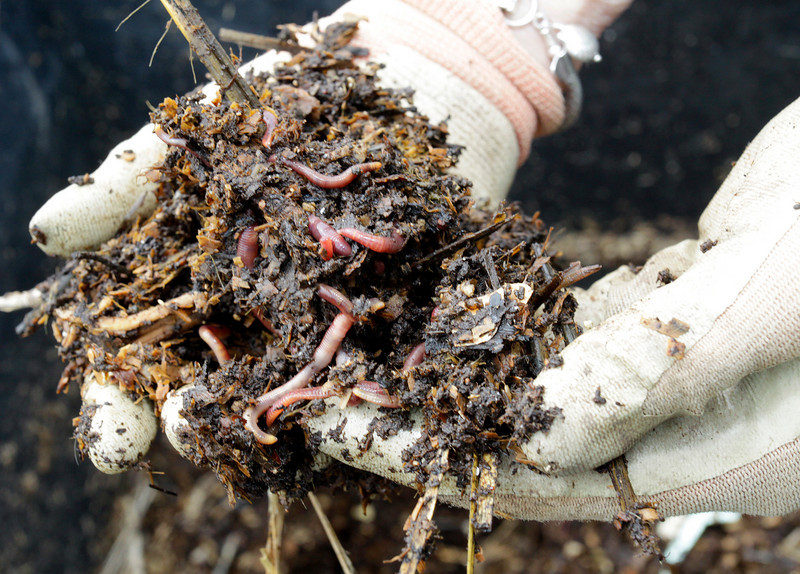 Healthy compost loaded with worms in the hands of Master Gardener Claire Russell at The Redwoods garden in Mill Valley, Calif. on Friday, April 22, 2011.(Jocelyn Knight Photo)