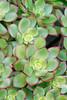 Succulent3665