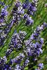 Lavender4714