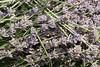 Lavender7012 copy