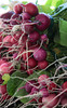 Radishes grown at Gospel Flat Farm in Bolinas, CA.