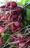 Radishes grown at Gospel Flat Farm in Bolinas, CA.