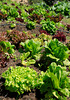 Many varieties of lettuce grow easily in this area. These are in a garden on the back side of Paradise Dr., Tiburon.