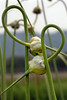 Garlic growing at Allstar Farm in Nicasio, CA