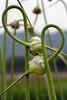 Garlic growing at Allstar Farm in Nicasio, CA