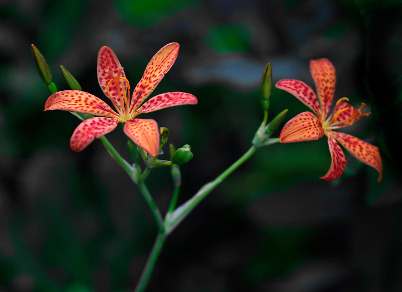 BlackBerry Lily - Ozark National Forest - July 23, 2017