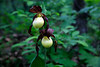 Double Head Kentucky Lady Slippers - Ouachita National Forest - May  4, 2017