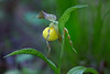 Small Yellow Lady's-Slipper - Ouachitas of Arkansas  Cypripedium parviflorum var. parviflorum  April 10, 2017
