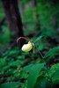 Kentucky Lady Slipper - Ouachita National Forest - May 4, 2017