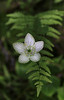 Grass-of-Parnassus - Ouachita National Forest - Arkansas - Sept 25, 2017